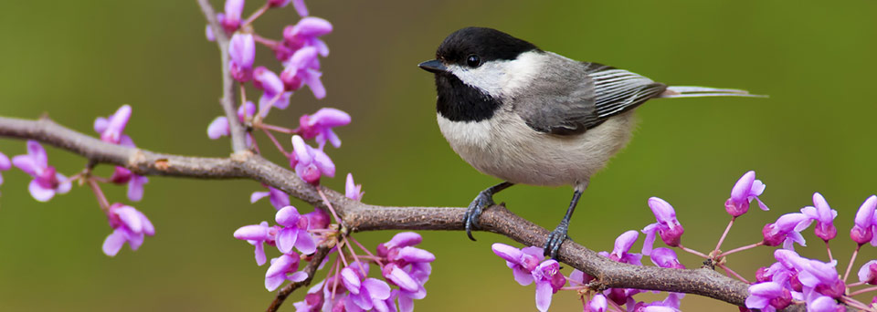 Photo of chickadee